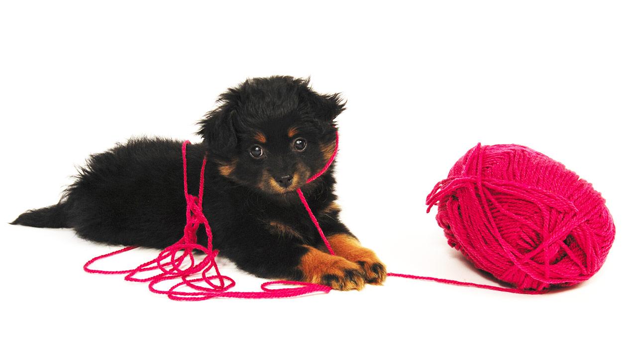 Yorkipoo - Die Yorkshire Terrier Pudelmischung