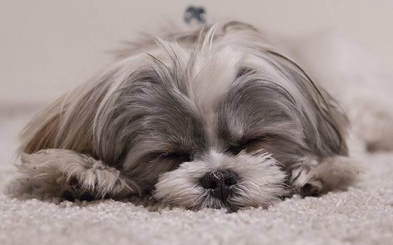 Bestes Hundefutter für Shih Tzu