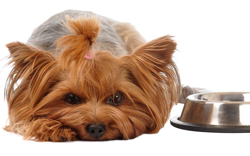 Bestes Hundefutter für Yorkies