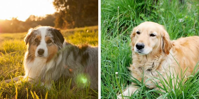 Treffen Sie den Australian Shepherd Golden Retriever Mix