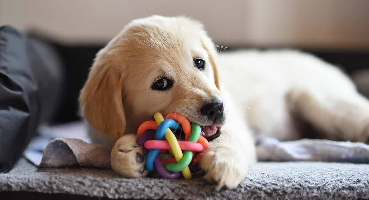 Bestes Spielzeug für Golden Retriever, die gerne spielen
