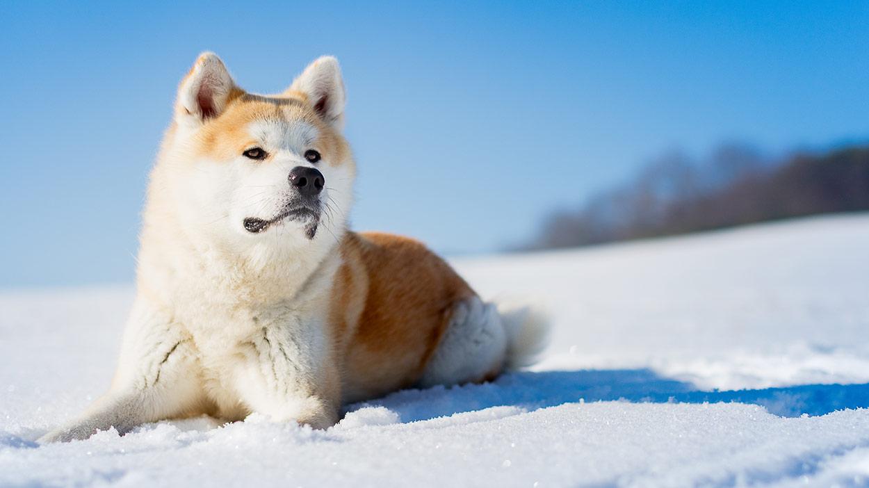 Entdecken Sie japanische Hunderassen - von Japan in Ihre Heimatstadt