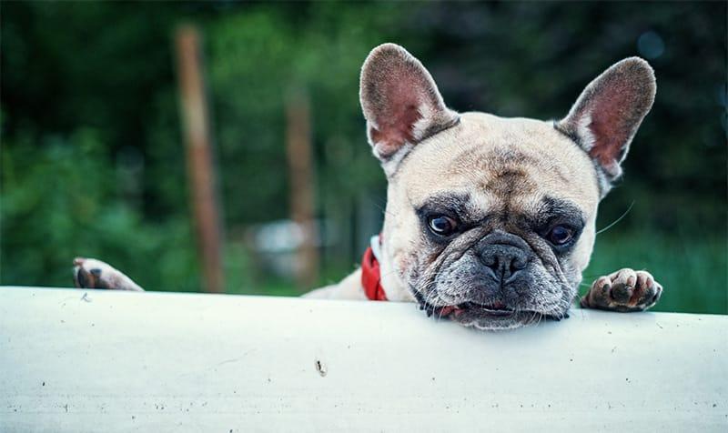 200+ perfekte französische Bulldoggennamen