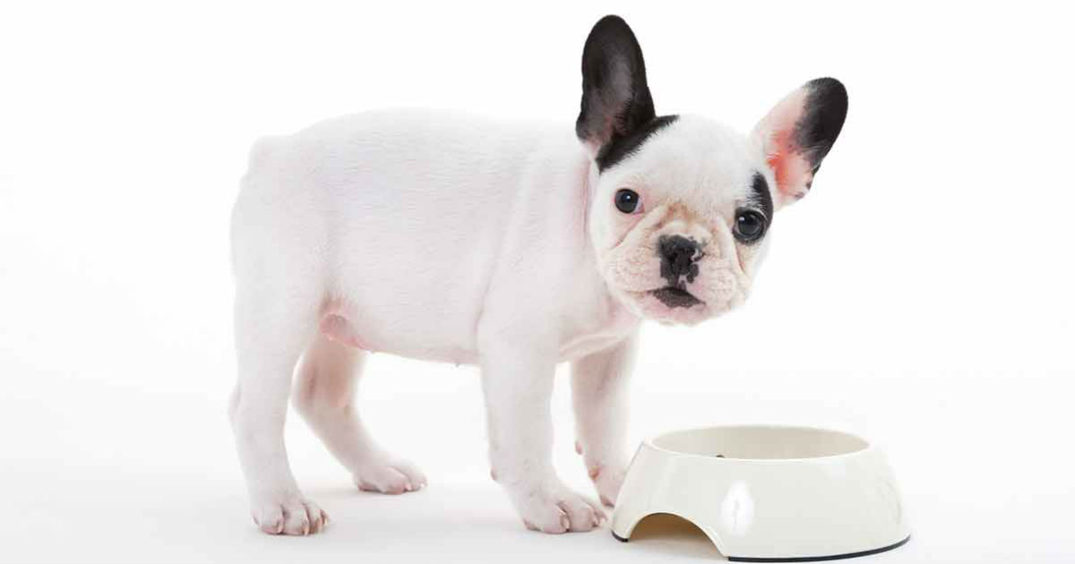 Bestes Futter für französische Bulldogge-Welpen