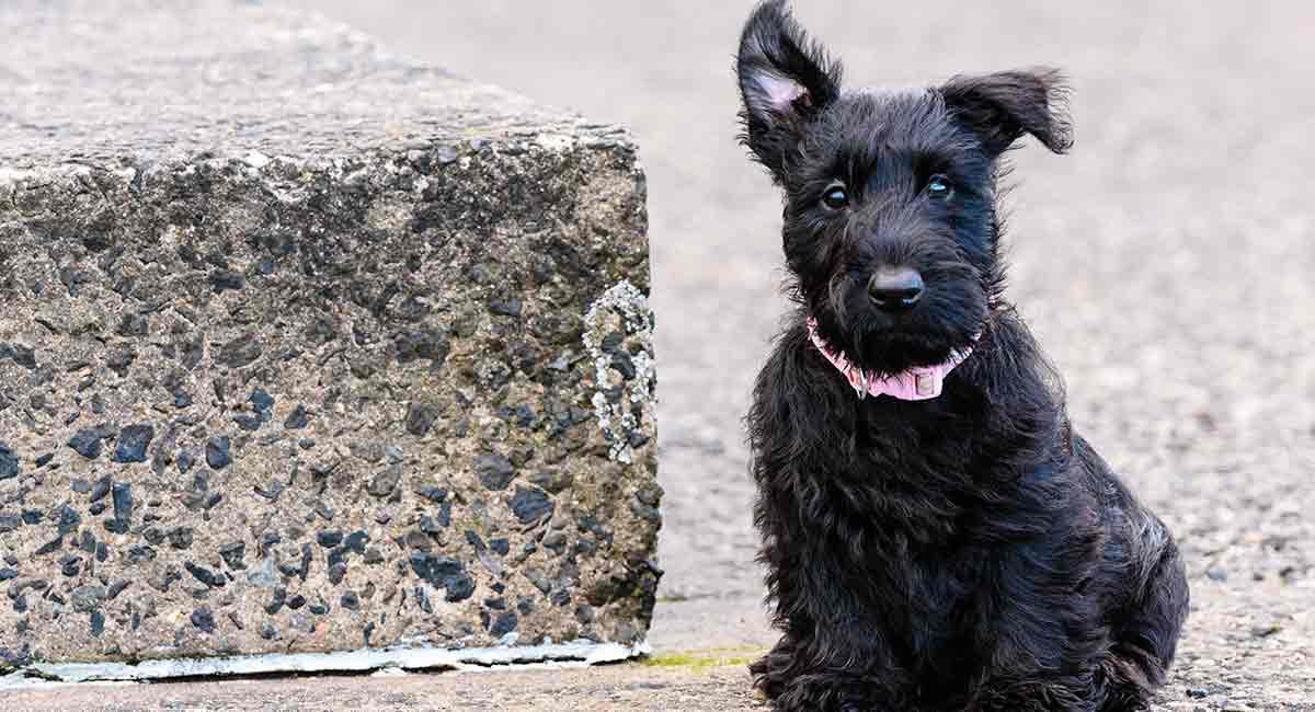 Scottish Terrier - würde diese faszinierende Rasse zu Ihrem Lebensstil passen?