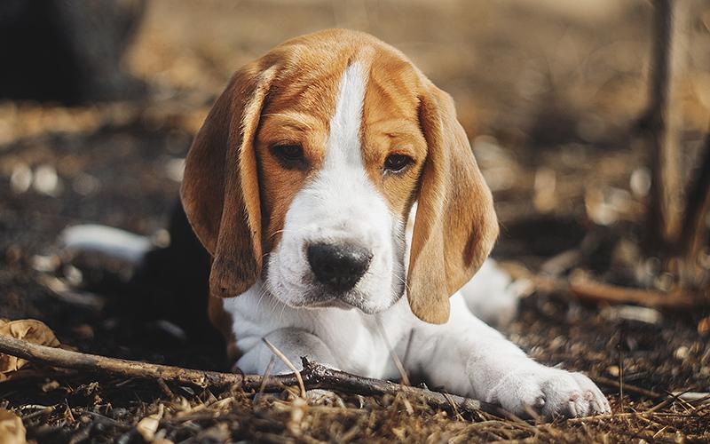 Beagle-Namen - 200 großartige Ideen für die Benennung Ihres Beagle