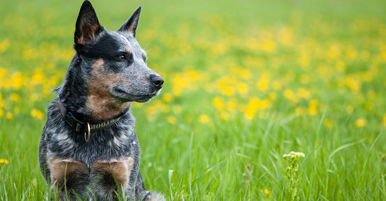 Bestes Hundefutter für blaue Heeler - Nähren Ihren Australian Cattle Dog