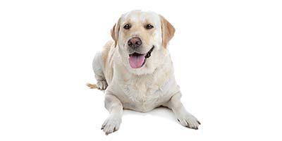 10 Gründe, warum Labradore die besten Hunde sind