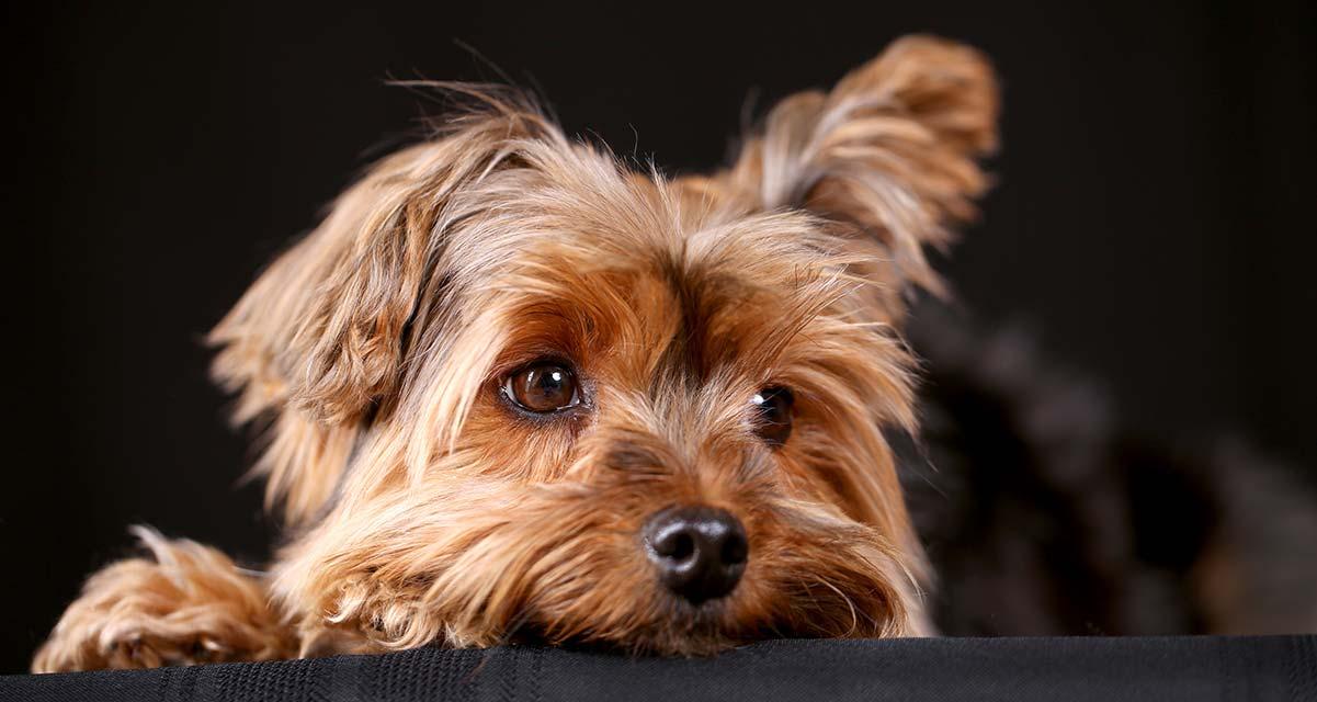 Yorkshire Terrier: Ihr ausführlicher Leitfaden für die entzückende Yorkie