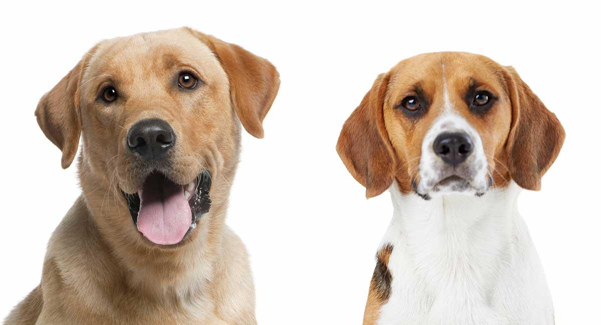 Beagle Vs Labrador - Welches ist das Richtige für Ihre Familie?