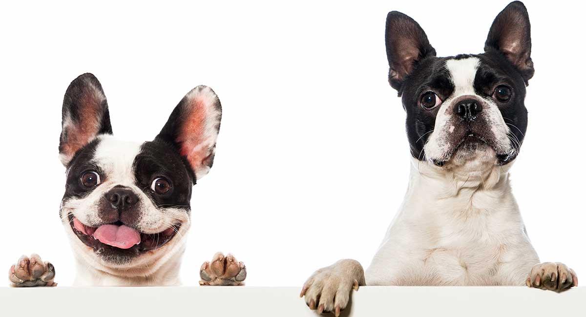 Boston Terrier gegen französische Bulldogge - können Sie die Unterschiede erkennen?