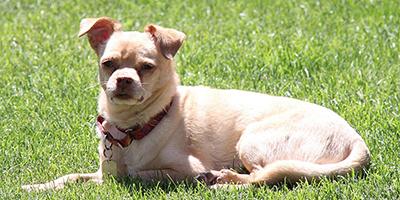 Chihuahua Mops-Mix - Entdecken Sie den entzückenden Kerl