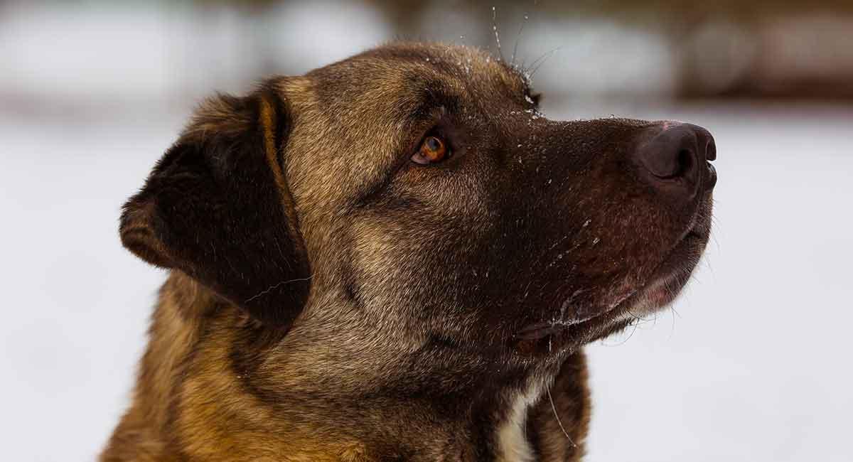 Anatolian Shepherd - Kann dieser Wachhund ein gutes Familienhaustier sein?