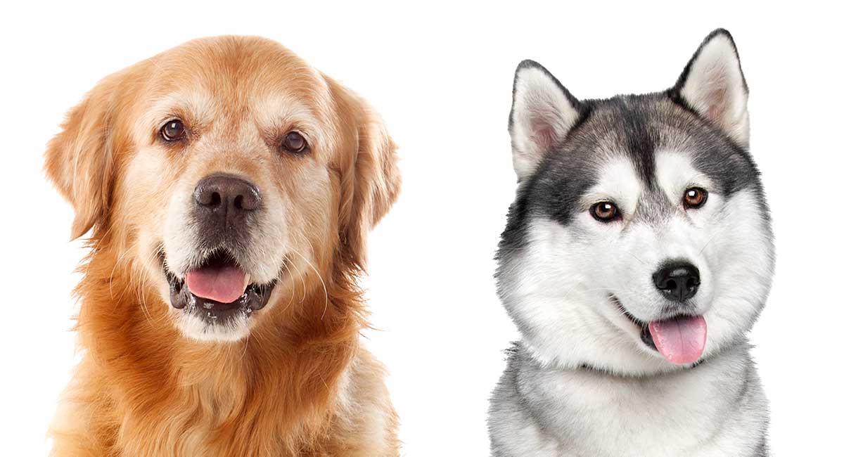 Husky vs Golden Retriever - Welcher ist der richtige für Sie?