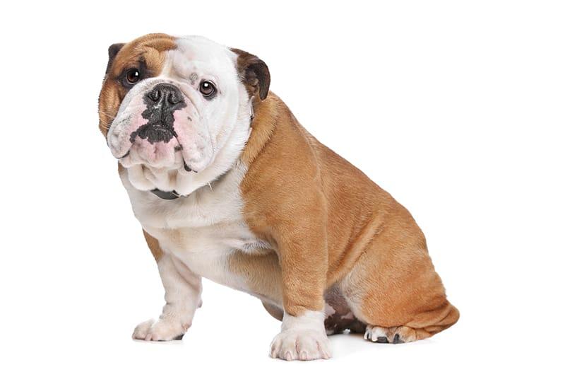 125+ Bulldoggennamen, die absolut fantastisch sind
