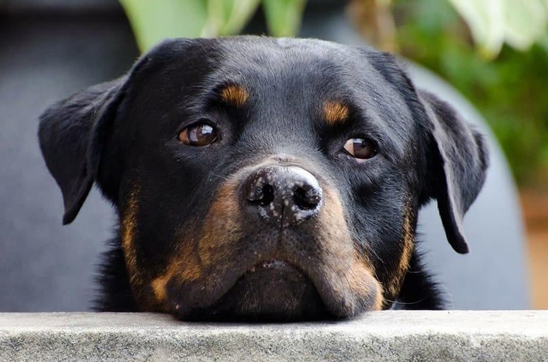 Rottweiler-Namen - Erhalten Sie 150 Ideen!