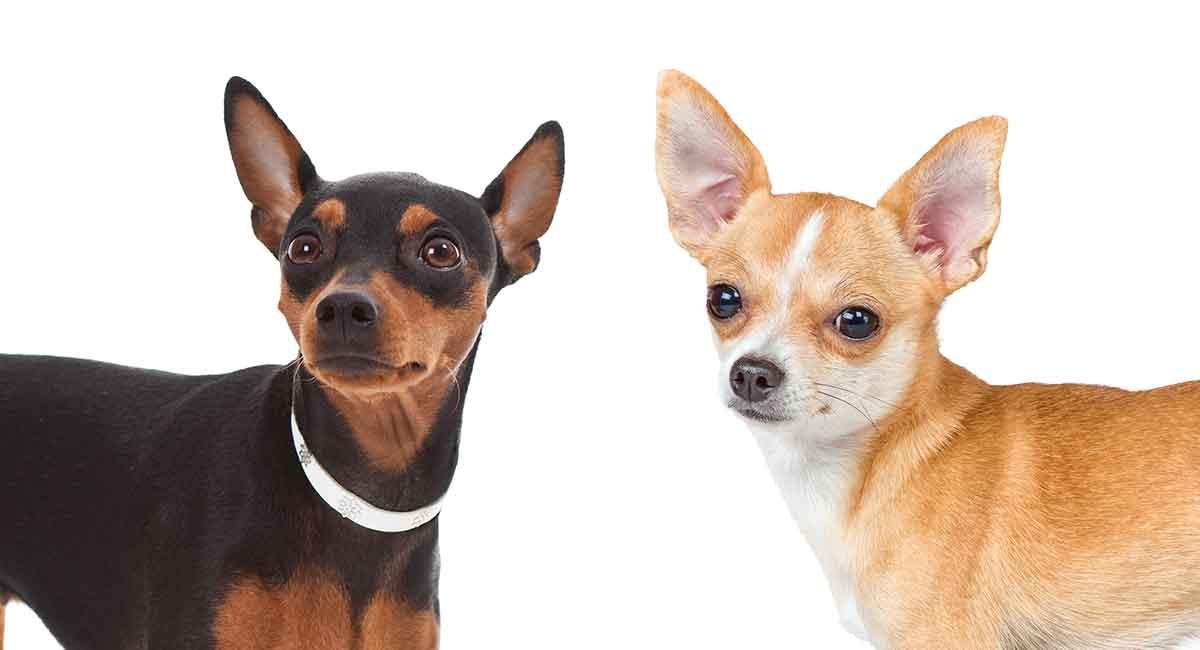 Miniatur-Pinscher-Chihuahua-Mix - ist das coole Kreuz das Richtige für Sie?