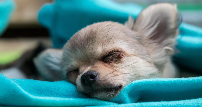 Beste Welpenbetten für Ihren verschlafenen kleinen Hund
