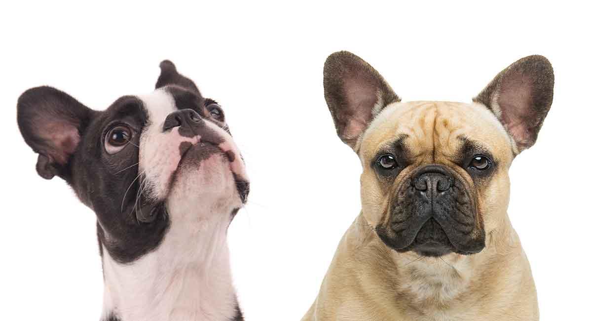Französische Bulldogge-Mischung Boston-Terriers - der Frenchton