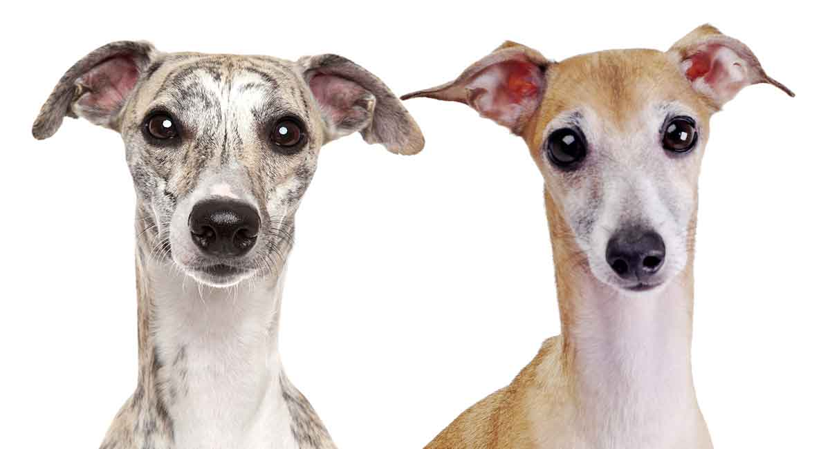 Whippet vs Italian Greyhound - Wie unterscheiden sich diese ähnlichen Hunde?