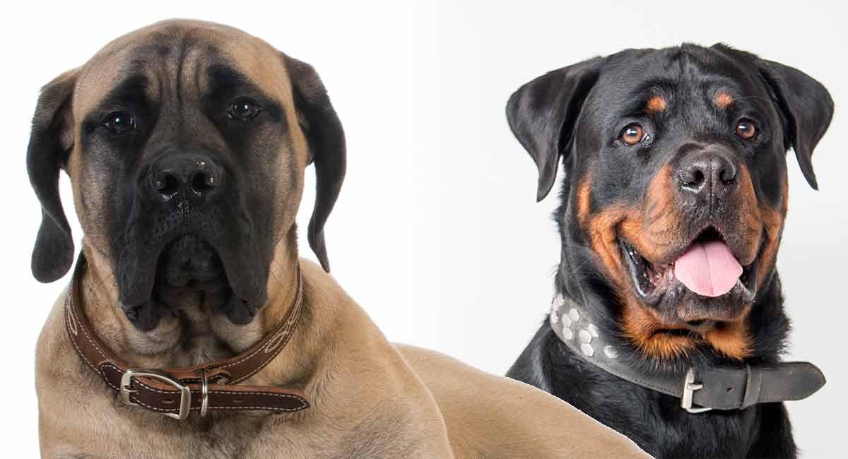 Rottweiler Mastiff-Mix - ein Hund, das größer ist als das Kreuz des Lebens!