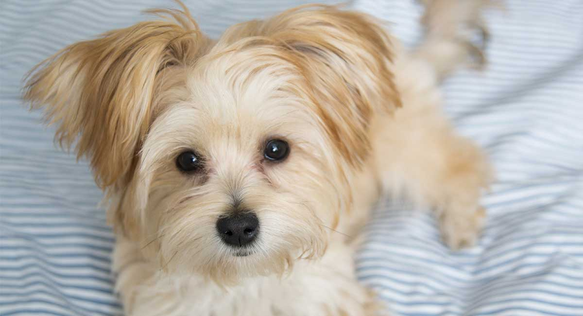 Morkie - Der Malteser Yorkshire Terrier Mix
