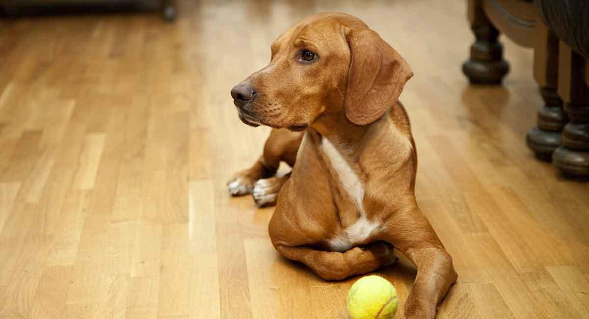Bester Bodenbelag für Hunde - welche Art wählen Sie