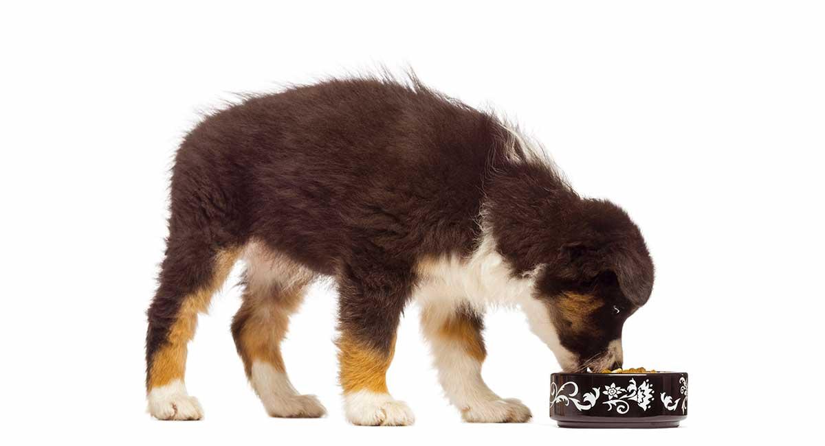 Bestes Futter für Australian Shepherd Puppies