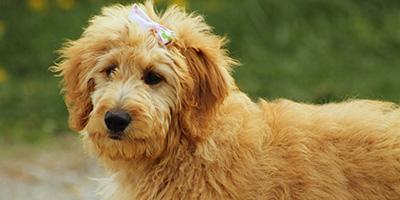 Über 150 perfekte Goldendoodle-Namen