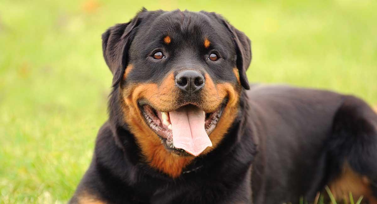 Bestes Hundefutter für Rottweiler Erwachsene und Senioren