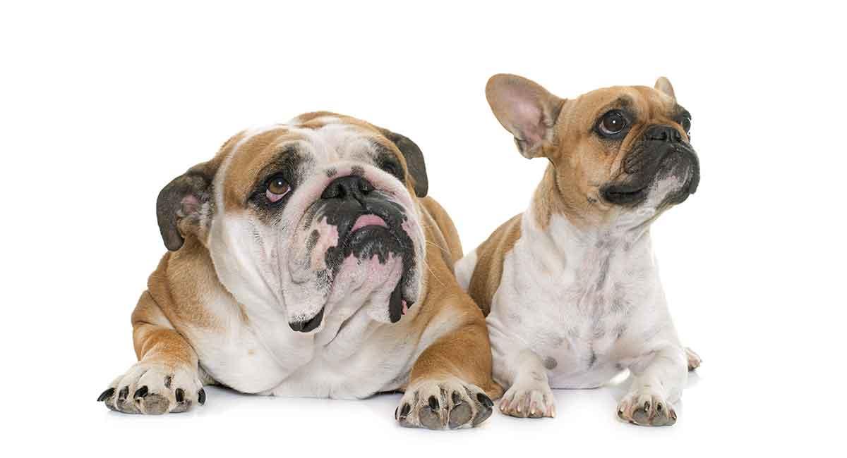 Französische Bulldogge gegen Englische Bulldogge - Welches Haustier ist das Richtige für Sie?