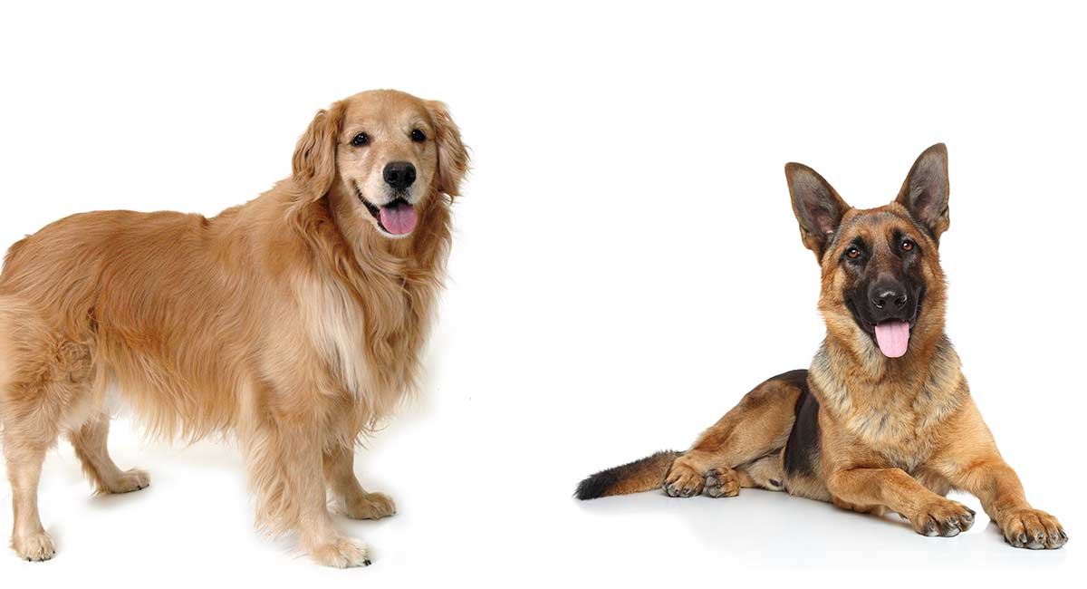 Golden Retriever vs German Shepherd: Welches Haustier ist das Beste?