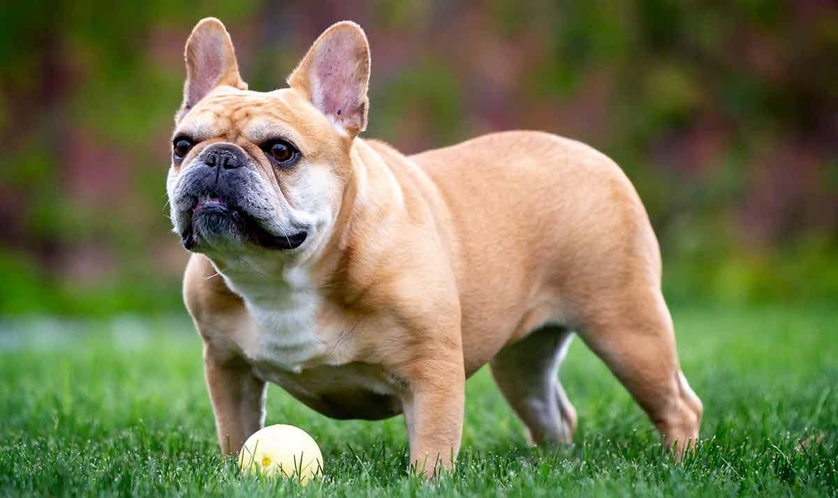 Französische Bulldoggen übernehmen Großbritanniens beliebteste Rasse