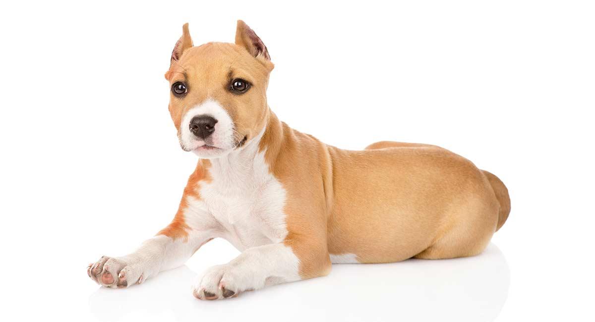 Hundeschneiden: Sollten Sie die Ohren Ihres Hundes beschneiden lassen