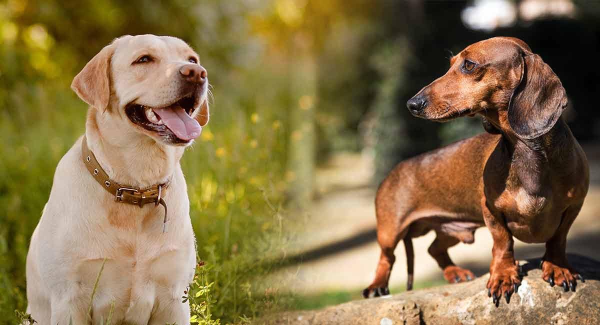Dackel-Labrador-Mix - Ist dieses kontrastierende Kreuz das Richtige für Sie?