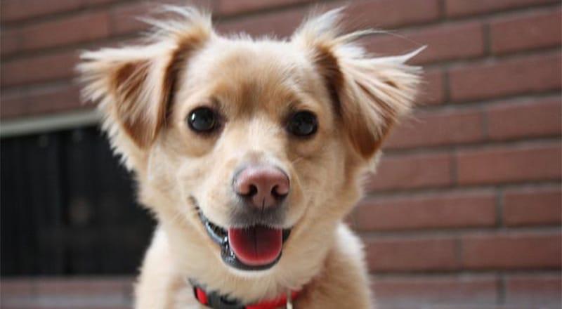 Golden Retriever Chihuahua Mix: Ein süßer & frecher Welpe