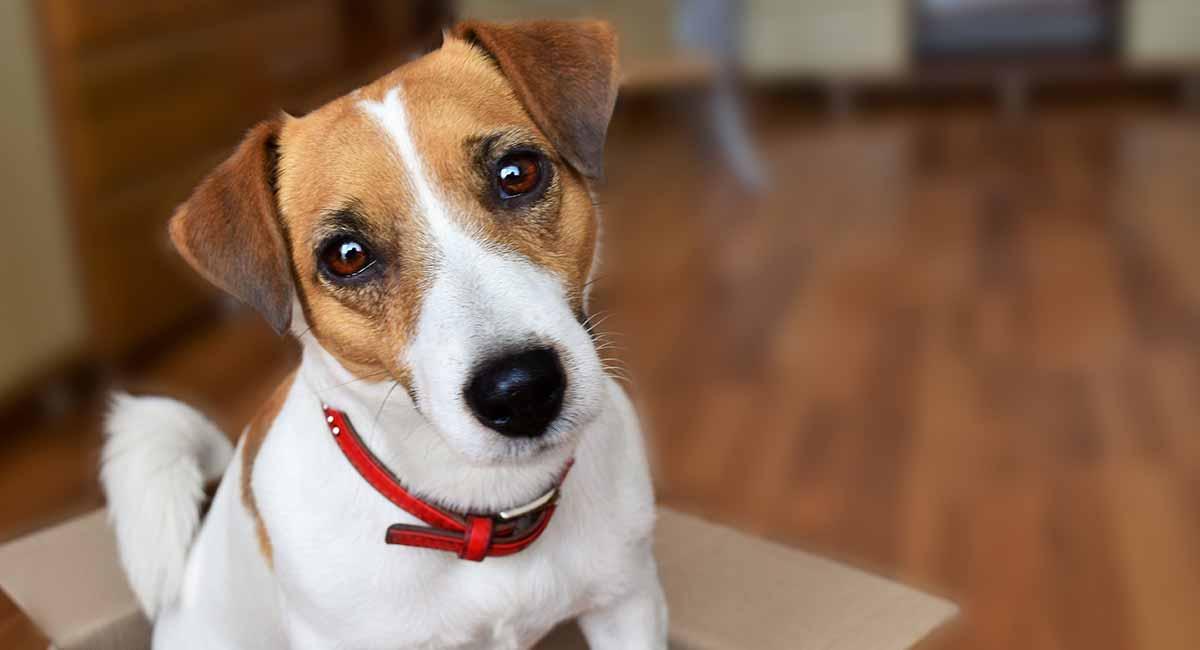 Jack Russell Terrier - Der kleine Hund mit der großen Haltung
