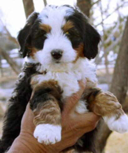Mini Bernese Sennenhund - Eine verkleinerte Version des sanften Riesen
