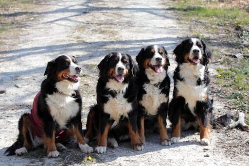 Berner Sennenhund-Namen - vervollkommnen Sie für Ihren großen flaumigen Hund