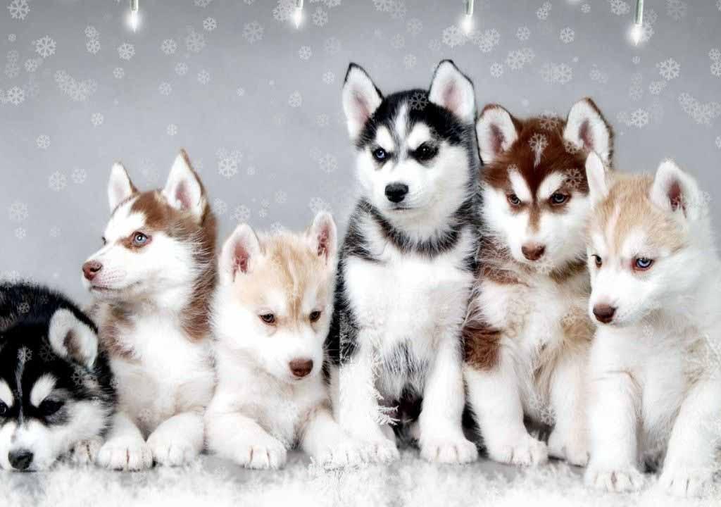Pomsky Dog - Ihr Leitfaden für Pomskies und ihre Pflege