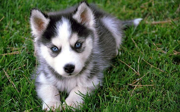 Husky-Namen - 101 große Namen Ideen für Ihren Siberian Husky